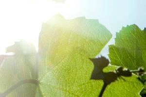 Vinhos de Talha